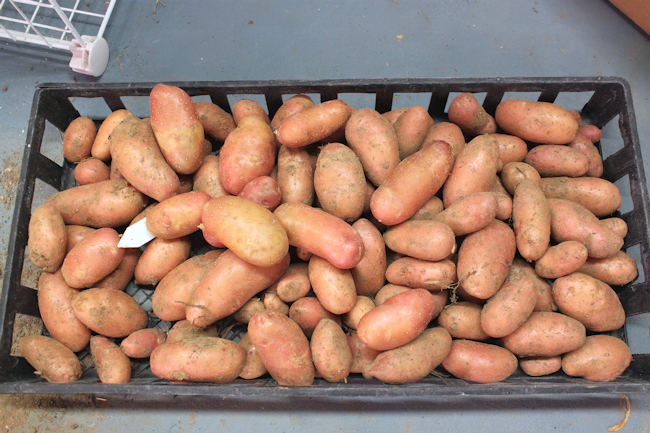 French Fingerling potatoes