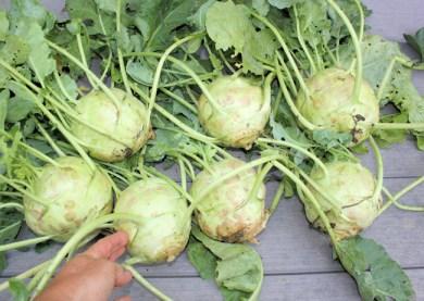 harvest of Kossak kohnrabi