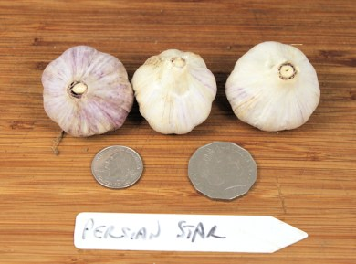 Persian Star purple stripe garlic