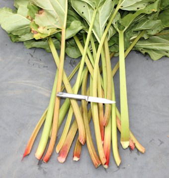 harvest of rhubarb
