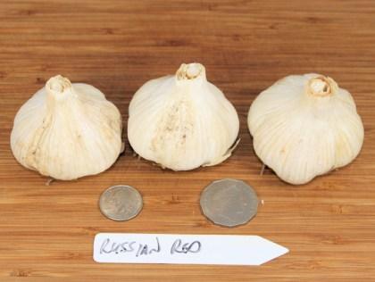 Russian Red rocambole garlic