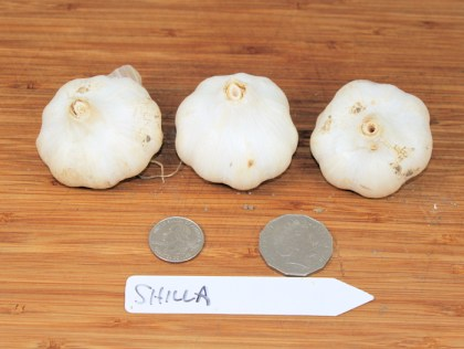 Shilla turban garlic