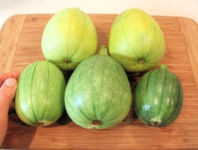 harvest of Tatume squash