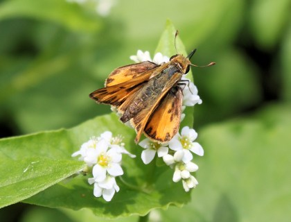 skipper butterfly on buckwheat flowers last fall