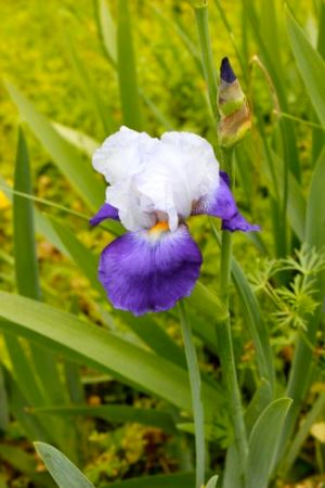 this two-tone iris is one of my favorites