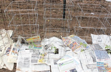 cages for determinant tomatoes at planting time