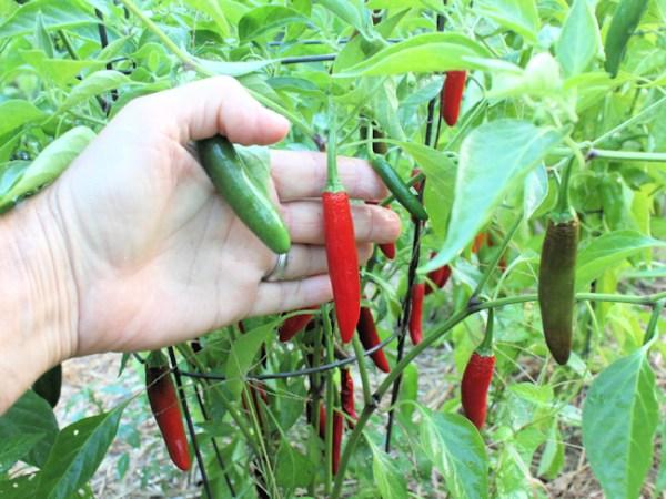 Serrano Del Sol pepper