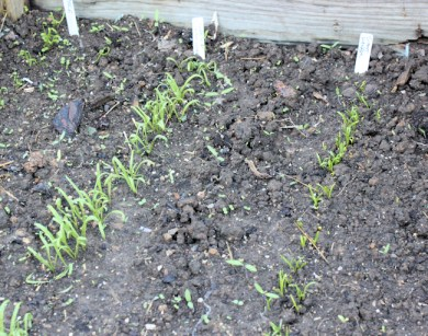 fall spinach coming up