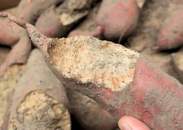 vole damage to sweet potato tuber