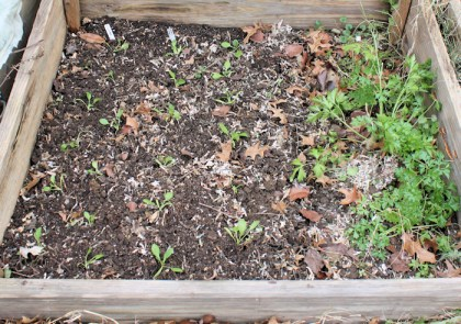 cold frame bed with spinach seedlings and parsley
