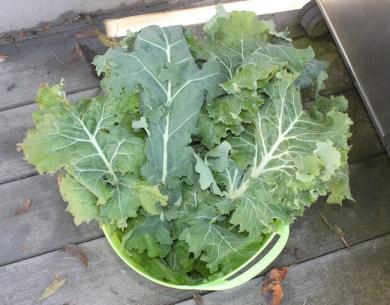 November kale harvest