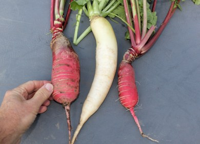 China Rose and Miyashige Green Neck radishes