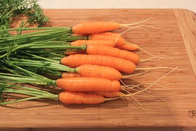 harvest of Yaya carrots