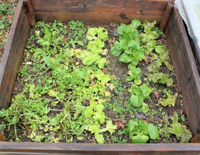 cold frame with lettuce and arugula