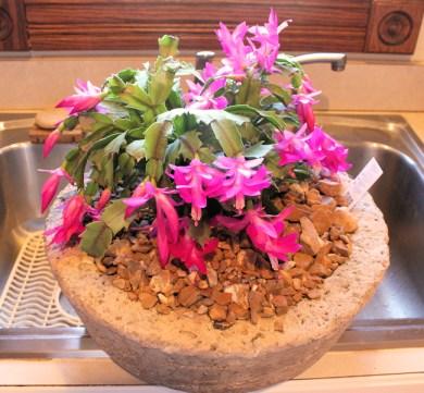 pink Schlumbergera cactus in hypertufa pot