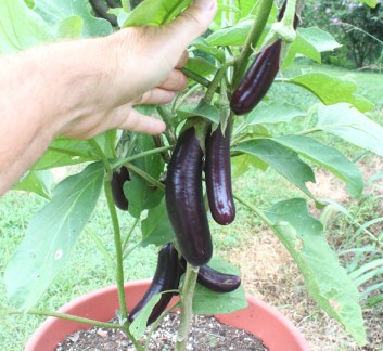 Hansel eggplant growing in container