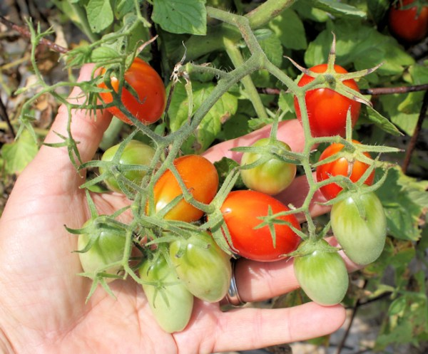 cluster of 12 Juliet tomatoes (2012 photo)