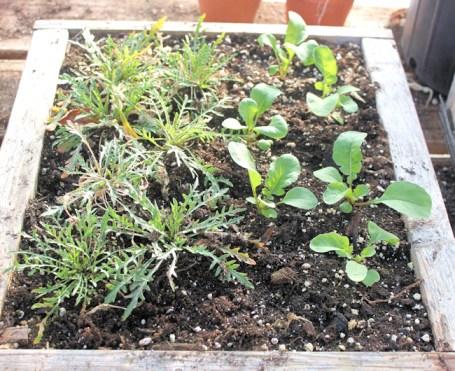 arugula in mini salad box