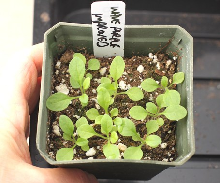 petunia seedlings ready for transplanting