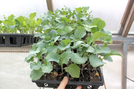 flat of broccoli plants in greenhouse