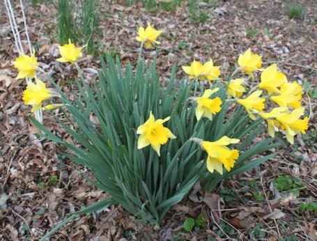 April daffodils
