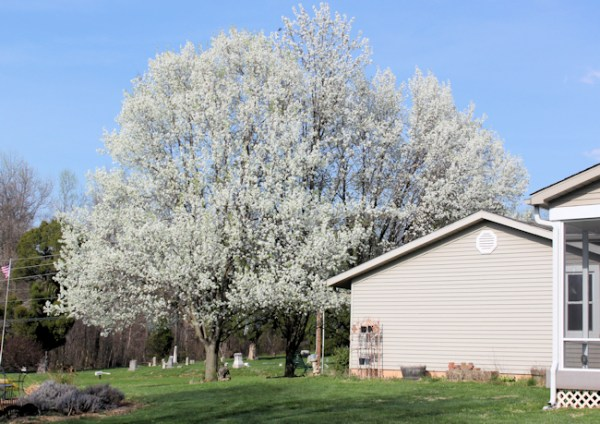flowering pear trees in bloom