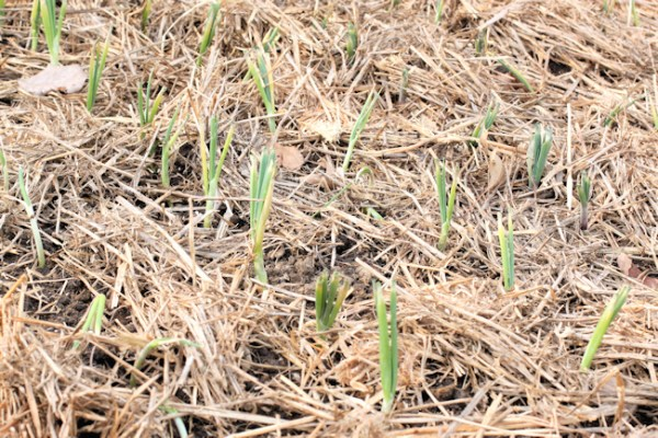 onions after planting and mulching
