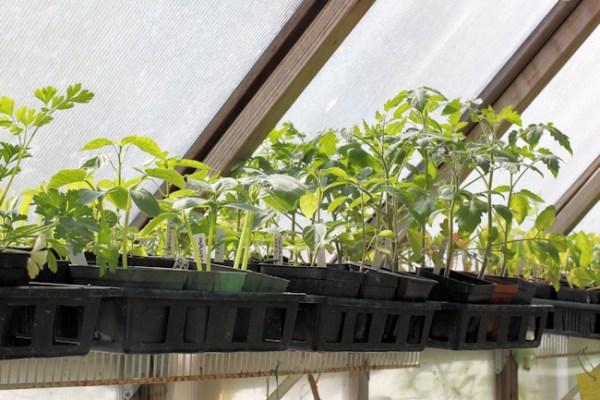 plants on greenhouse shelf