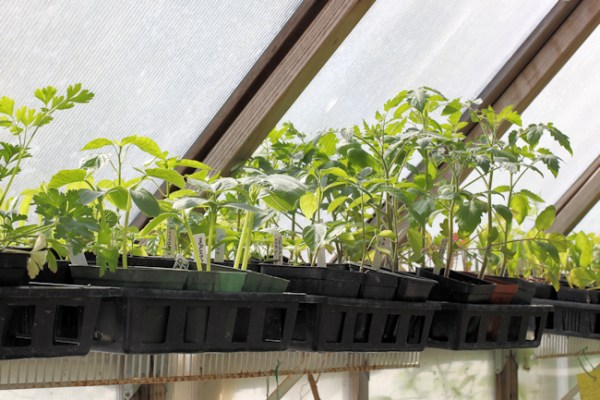 plants on greenhouse shelf