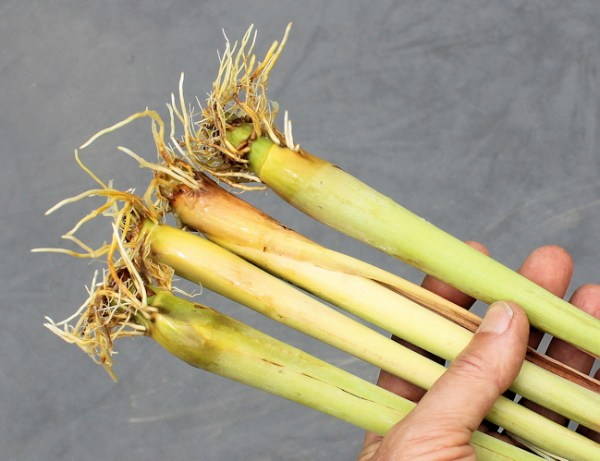 lemongrass showing roots