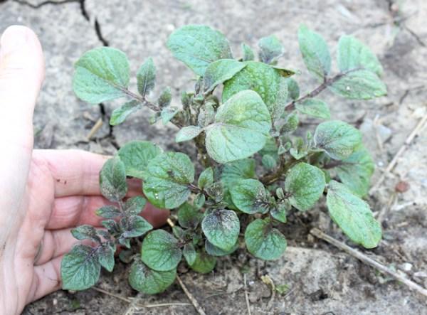 potato foliage emerging from soil