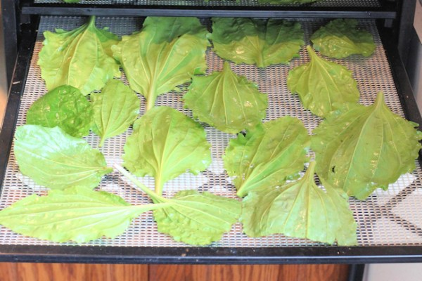 plantain leaves in dehydrator