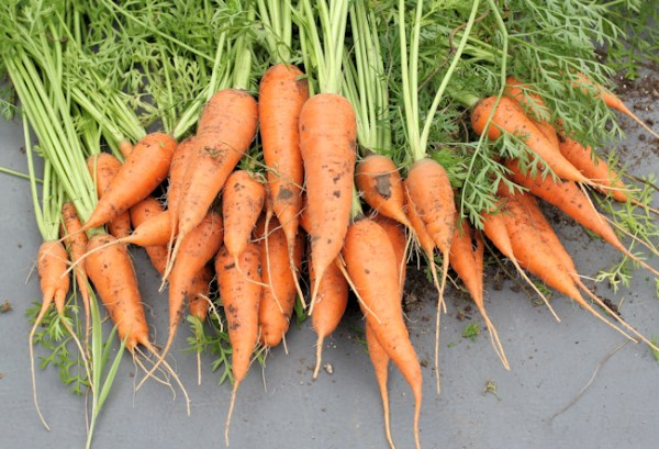 harvest of Cordoba carrots