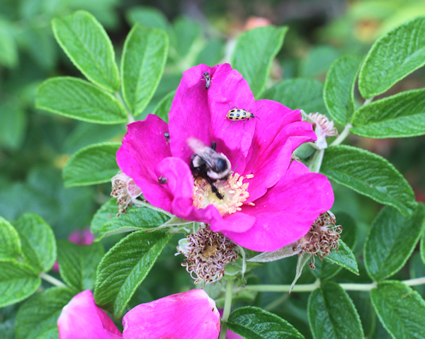 Jubilee rugosa rose