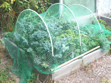 kale covered with netting