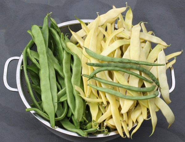 recent harvest of Musica, Gold Marie and Rattlesnake pole beans