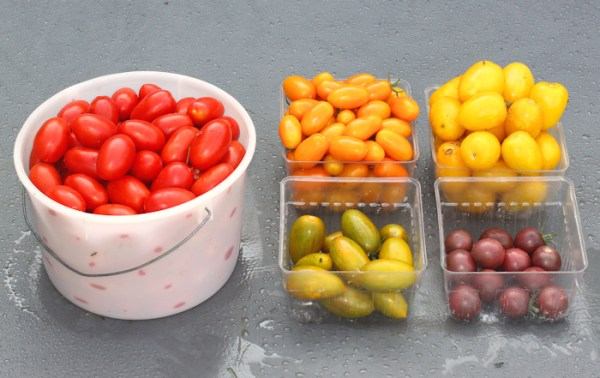 a harvest of small fruited tomatoes