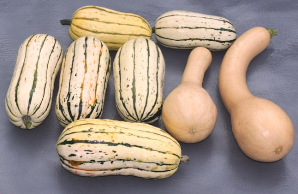 Bush Delicata and Canada Crookneck squash