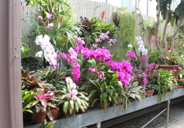 orchids blooming in greenhouse
