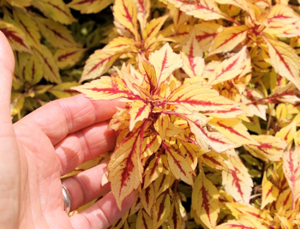 bright colored coleus