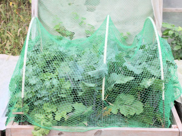 bird netting covering kale