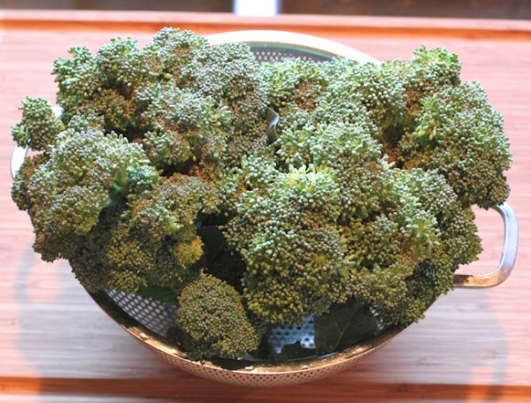 Green Magic broccoli