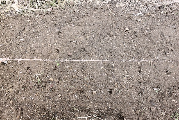 soil marked with holes for planting garlic