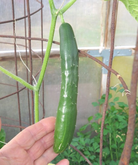 young Tasty Jade cucumber in greenhouse