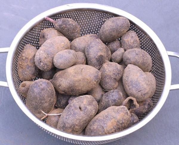 Magic Molly potatoes