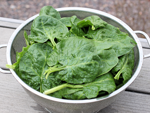 Amsterdam Prickly-Seeded spinach