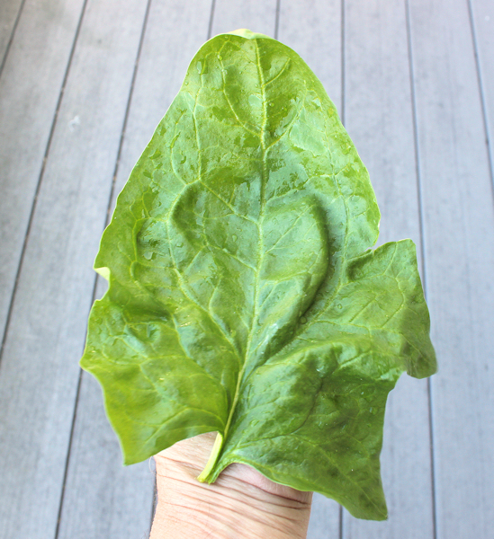 giant leaf of Giant Winter spinach
