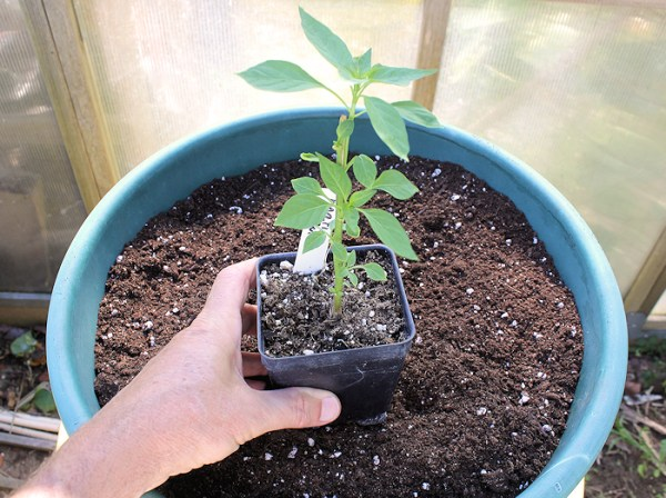 "planting pepper in 14"" container"
