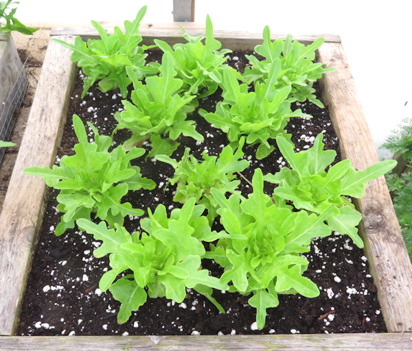 Baby Oakleaf lettuce in salad box