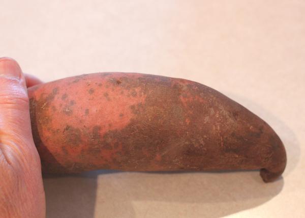 Beauregard sweet potato with scurf
